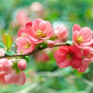 Цветок айвы